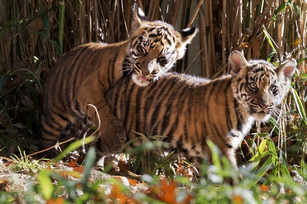 National Zoo Tiger Cubs Make Their Debut, Prove Two Is Cuter Than One