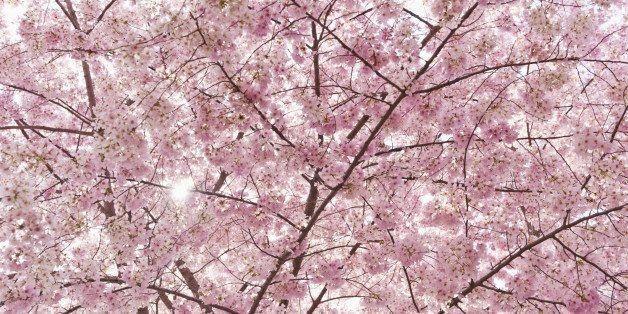 5 Tasty Japanese Recipes to Celebrate Cherry Blossom Season | HuffPost Life