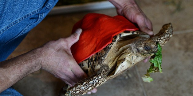 This Tortoise Will Have A Happier Life, Thanks To Her New 3D-Printed Shell