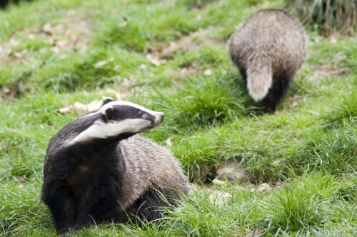 Why Those Against the Badger Cull Have Got It Wrong