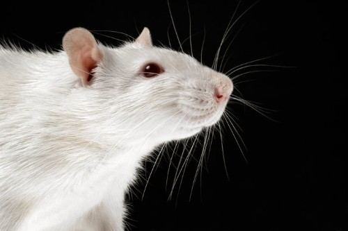 Lab Rats' Cramped Cages Called Bad For Animals And Science Too
