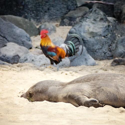 What Is Killing Kauai's Wild Chickens?