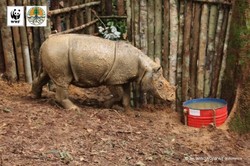 Near-Extinct Sumatran Rhino Spotted In Indonesian Borneo For The First Time In 40 Years