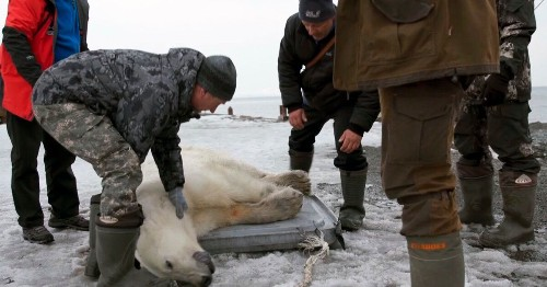 Lost Polar Bear Found In Eastern Russian Village Hitches A Ride Home In Helicopter