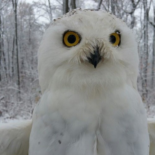 Your Perfect Instagram Shot Might End Up Killing A Snowy Owl