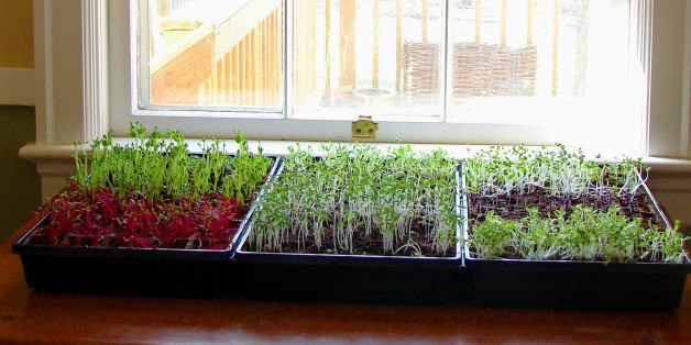 How To Grow Your Own Microgreens And Save A Ton Of Money | HuffPost Life