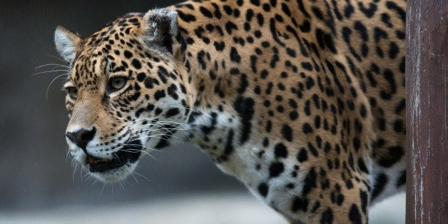 Are Large Carnivores Doomed by Climate Change?