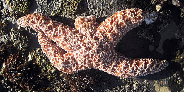 Scientists Say They've Figured Out Why Starfish Are Melting