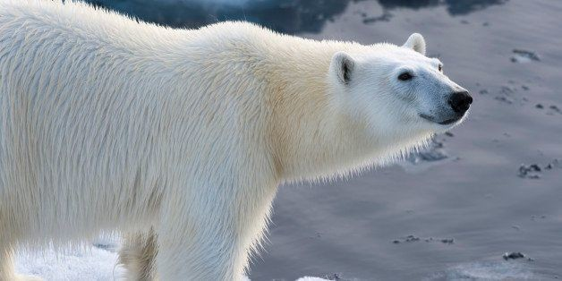 Save the Polar Bears? They're Fine, Actually