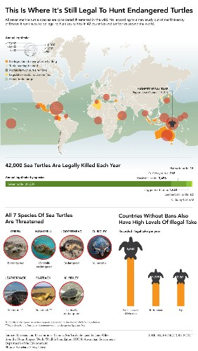 Sea Turtles Are Endangered, But 42,000 Were Killed Legally Last Year