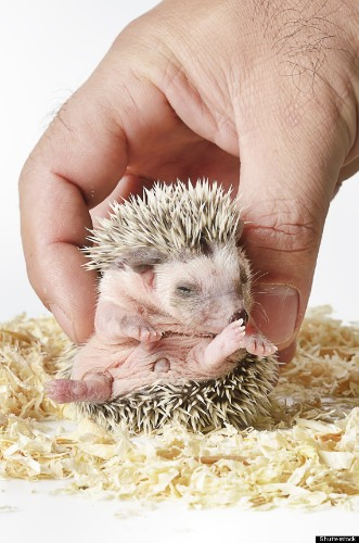 15 Tiny Hedgehogs Who Are Super Cynical (PHOTOS)
