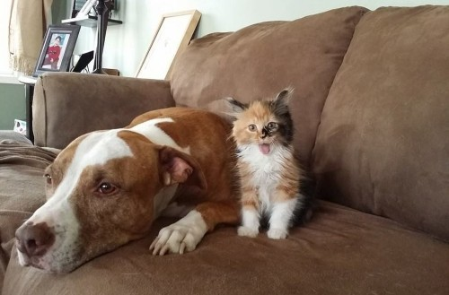 This Kitten Thinks She's A Pit Bull, And It's Too Cute For Words