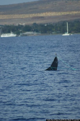 Maui Whale Watching Tour Finds Young Humpback Entangled In Fishing Line