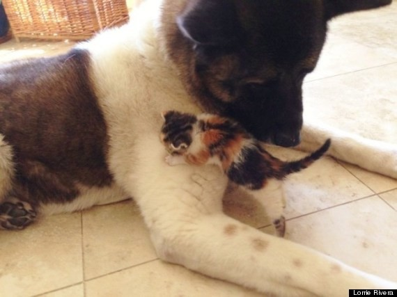 Guard Dog Adopts Tiny Abandoned Kitten, And The Friendship Couldn't Be Cuter