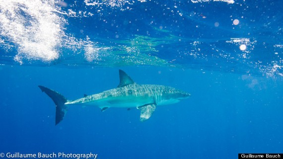 Photographer Guillaume Bauch Meets Great White Shark In Florida Keys (VIDEO)