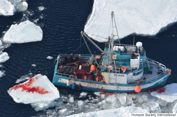 Graphic Video Of Annual Canadian Seal Hunt Released By Animal Rights Group