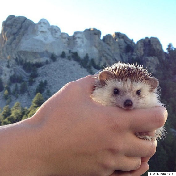 Biddy The Traveling Hedgehog Is Here, And He's Going To Make Your Day