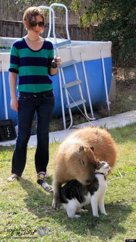 Capybara, Rodent Of Unusual Size, Loves To Hug Cats (PHOTOS)
