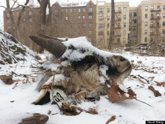 Severed Goat Head Found In Brooklyn's Prospect Park...Again