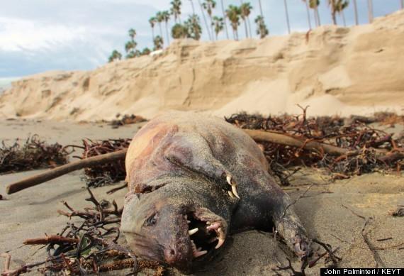 Strange Creature Washes Up On Santa Barbara Beach