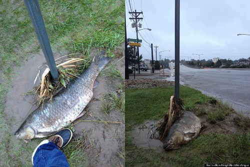 Giant Carp PHOTOS: Huge Fish Washes Up In Colorado After Rivers Flood (UPDATED)