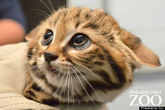 The Black-Footed Cat Kittens Are BACK And Hunting Crickets