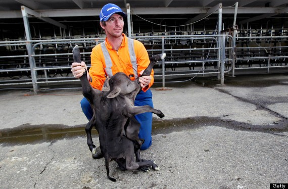 Deformed Calf In New Zealand Has 8 Legs, 4 Ears, 2 Bodies And One Head (PHOTOS)