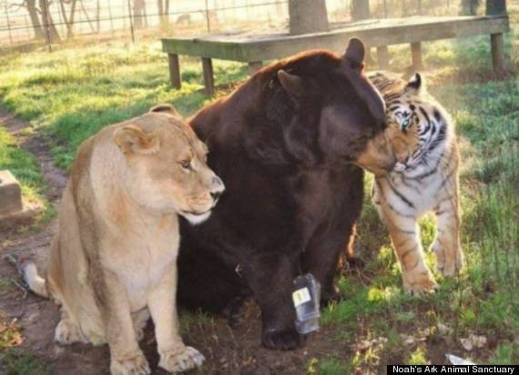 How An Abused Lion, Tiger And Bear Became An Unlikely Family (PHOTOS)