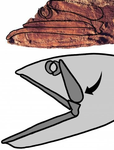 Rhinconichthys: Evidence of extinct bony fish with huge mouth discovered in Japan and US