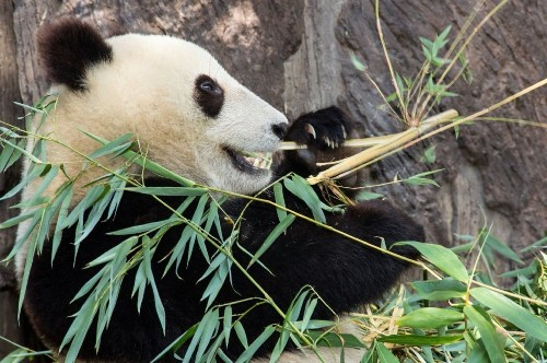 How pandas may be eating their way to extinction - Los Angeles Times