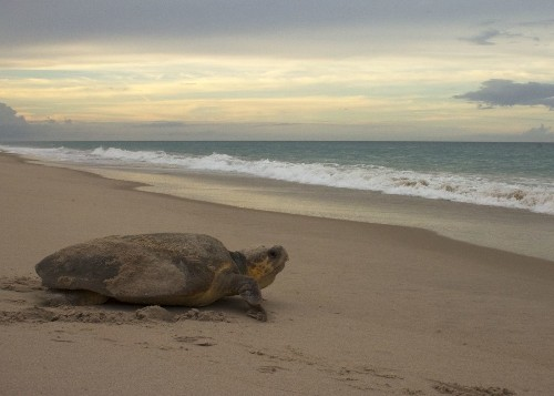 Sea turtle finds her way back to birth beach, but how? - Los Angeles Times