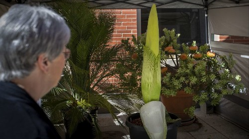 Rare corpse flower ready for stinky appearance at Cal State Long Beach