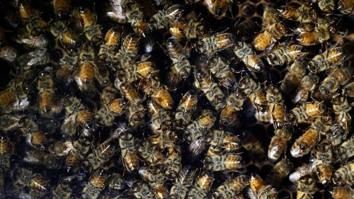 EPA's bee decisions are sweet for growers, but they sting environmentalists