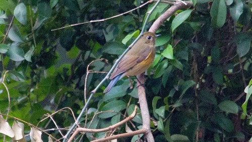 Rare red-flanked bluetail has bird-lovers flocking to L.A. for a glimpse - Los Angeles Times