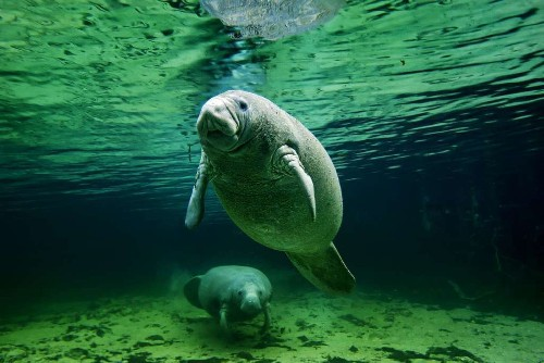 Manatees could lose their endangered species status - Los Angeles Times