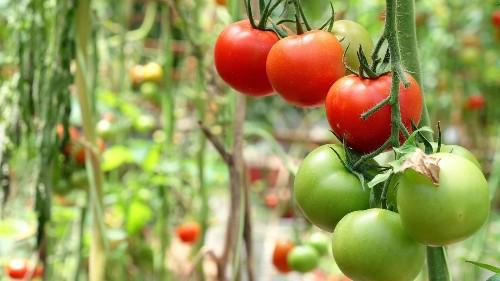 A master gardener shares 6 secrets for planting tomatoes