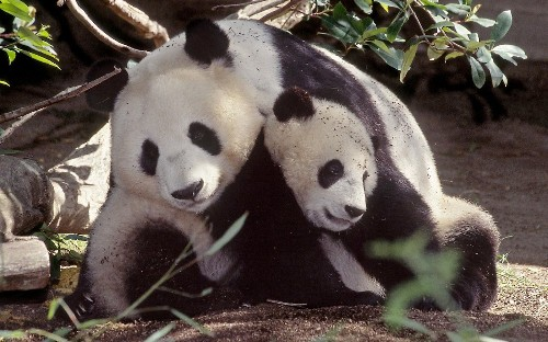 Aging giant pandas at San Diego Zoo put breeding program in doubt - Los Angeles Times