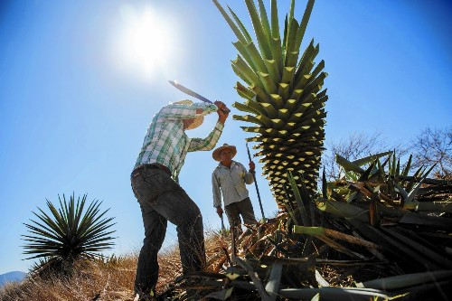 Distilling mescal is a father-to-son tradition in Mexico