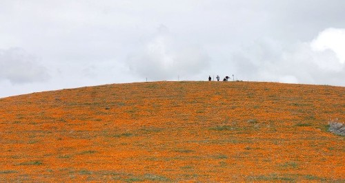 Antelope Valley's poppy reserve bursts with blooms