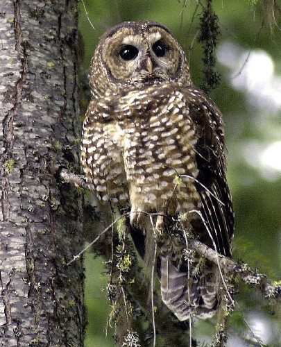Wildlife groups seek federal protection for the California spotted owl - Los Angeles Times