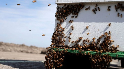 Thieves steal hundreds of beehives primed to pollinate Central Valley almonds