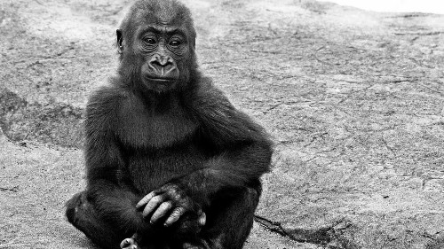 Gorilla at San Francisco Zoo dies in 'tragic accident' - Los Angeles Times