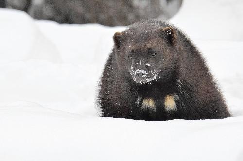 U.S. reverses proposal to list wolverine as threatened species