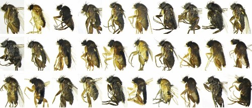 30 never-before-seen species of flies discovered in Los Angeles - Los Angeles Times