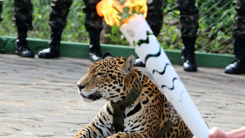 Jaguar mascot escapes leash, is shot dead after Olympic torch ceremony in Brazil - Los Angeles Times