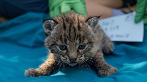 4 adorable baby bobcats born to wildcat mom who survived Woolsey fire