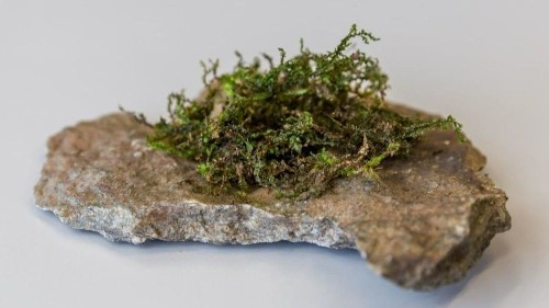 A chemical found in liverwort has surprising similarities to the THC in marijuana - Los Angeles Times