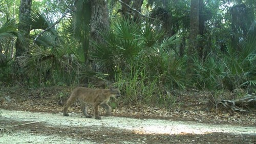 Discovery of Florida panther kittens near Everglades buoys hope for the endangered cats