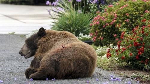 Brown bear attacks homeless man sleeping in San Gabriel Mountains
