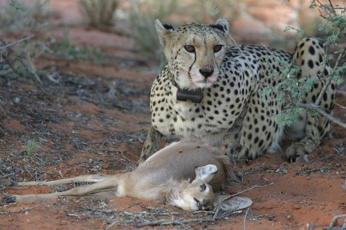 Cheetahs and pumas may have hunting strategies down to a science